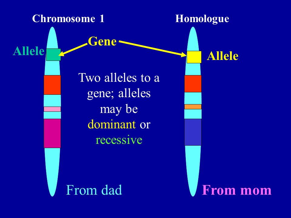 Two alleles to a gene; alleles may be dominant or recessive