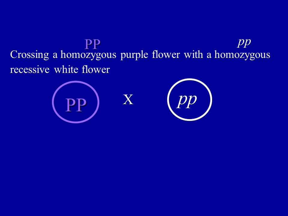 pp PP Crossing a homozygous purple flower with a homozygous recessive white flower pp X PP