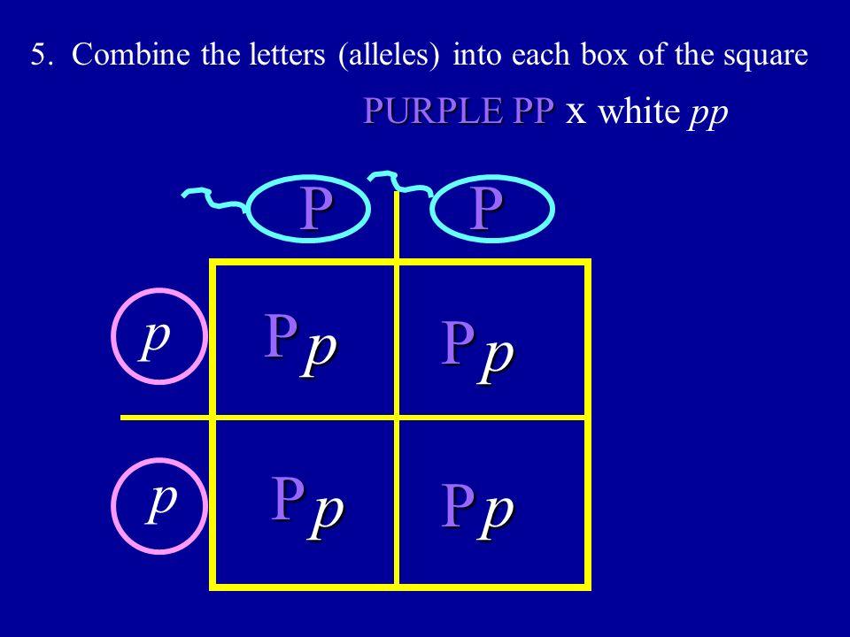 P P P p P p P p P p p p PURPLE PP x white pp