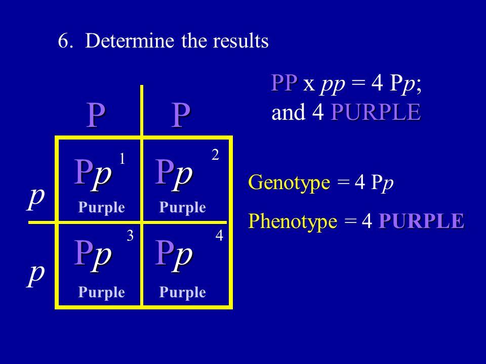 P P Pp Pp Pp Pp p p PP x pp = 4 Pp; and 4 PURPLE