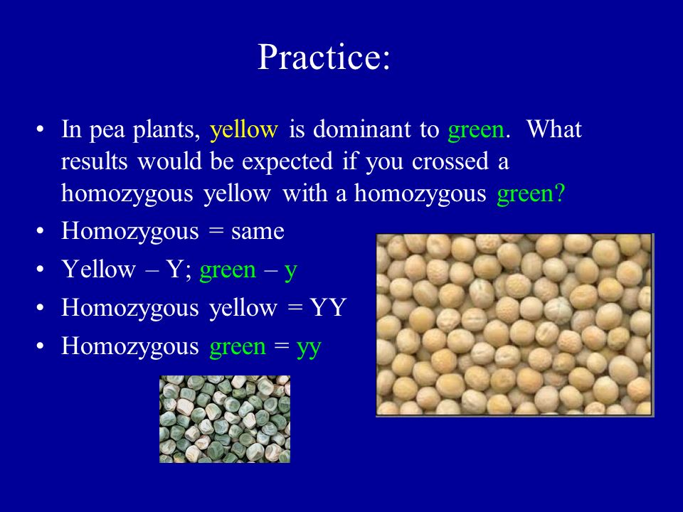 Practice: In pea plants, yellow is dominant to green. What results would be expected if you crossed a homozygous yellow with a homozygous green