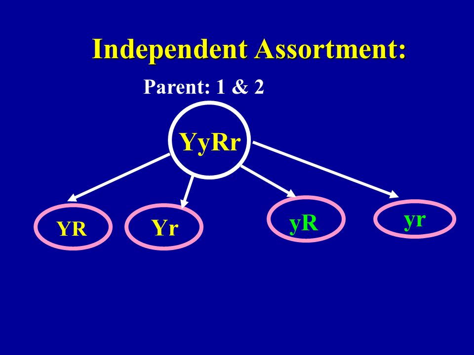Independent Assortment: