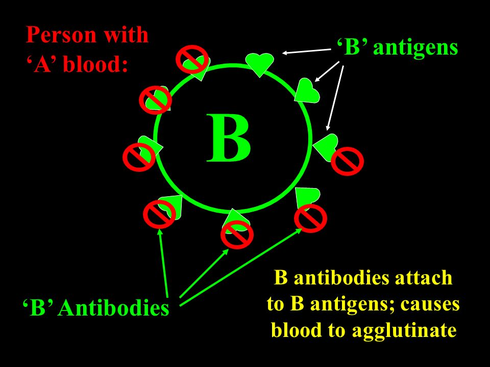 B antibodies attach to B antigens; causes blood to agglutinate