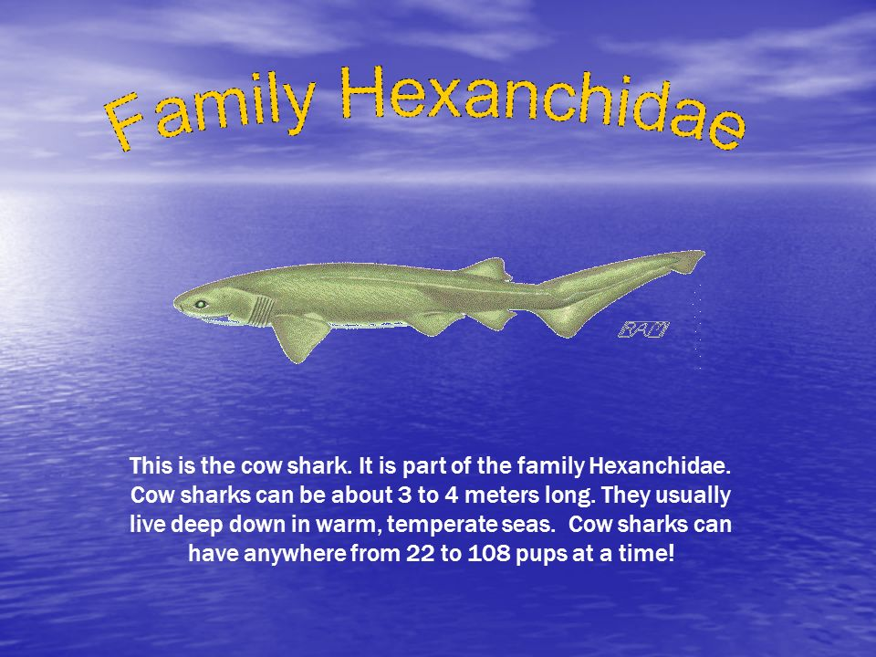 Family Hexanchidae
