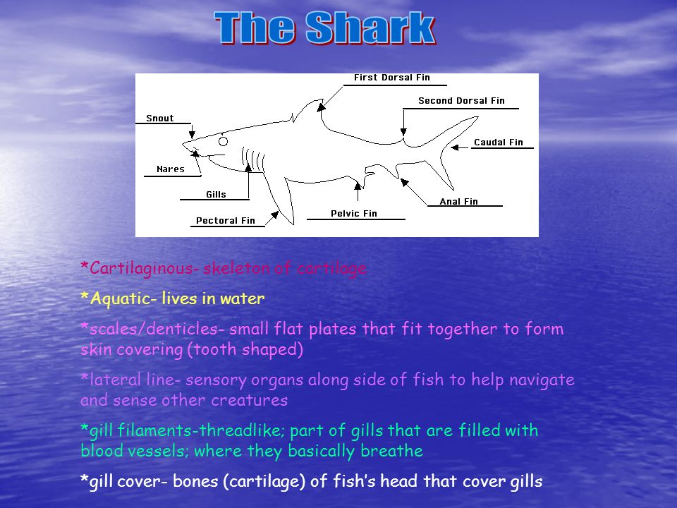 The Shark *Cartilaginous- skeleton of cartilage
