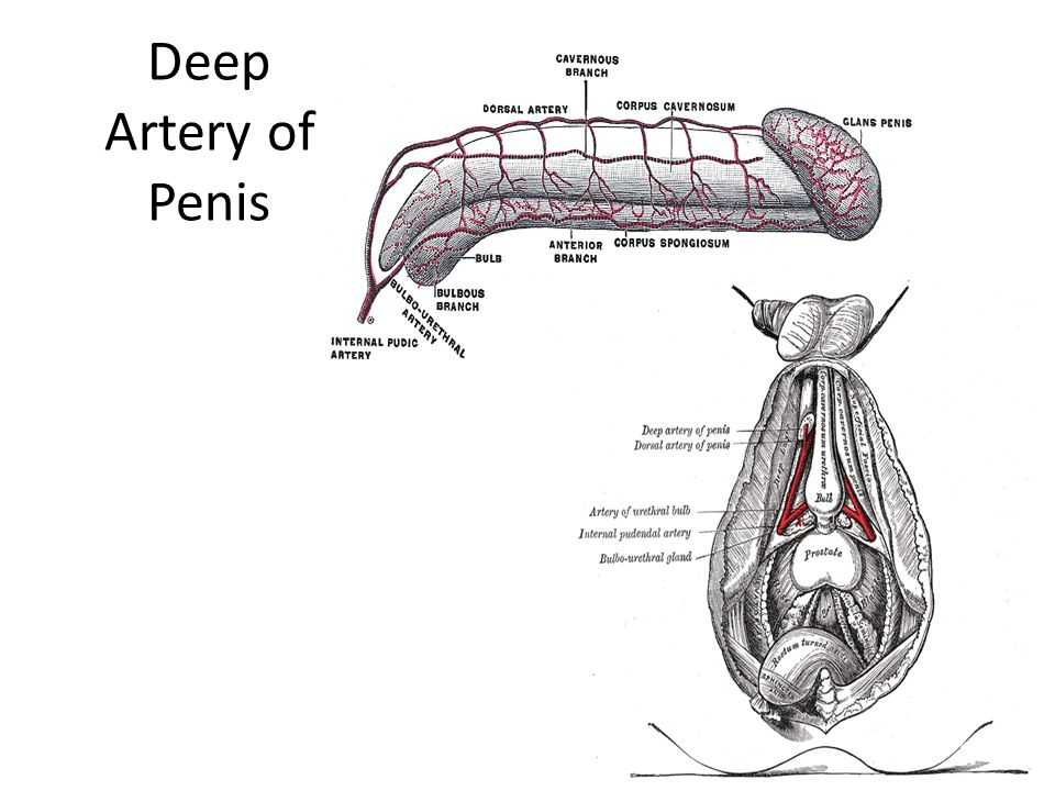Nostalgic...Nice! Foreign Deep artery of penis such