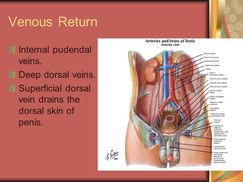 dorsal Clitoris vein deep