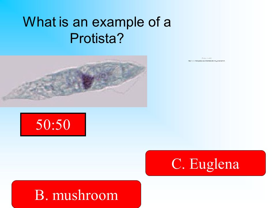 What is an example of a Protista