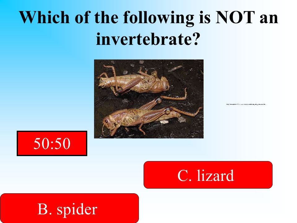 Which of the following is NOT an invertebrate