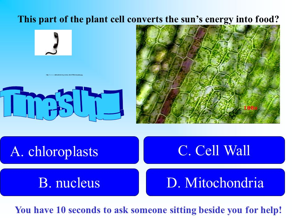 Time s Up!!! A. chloroplasts C. Cell Wall B. nucleus D. Mitochondria