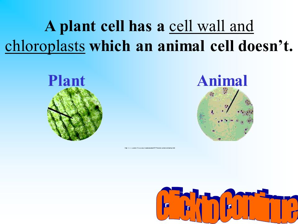 A plant cell has a cell wall and chloroplasts which an animal cell doesn't.