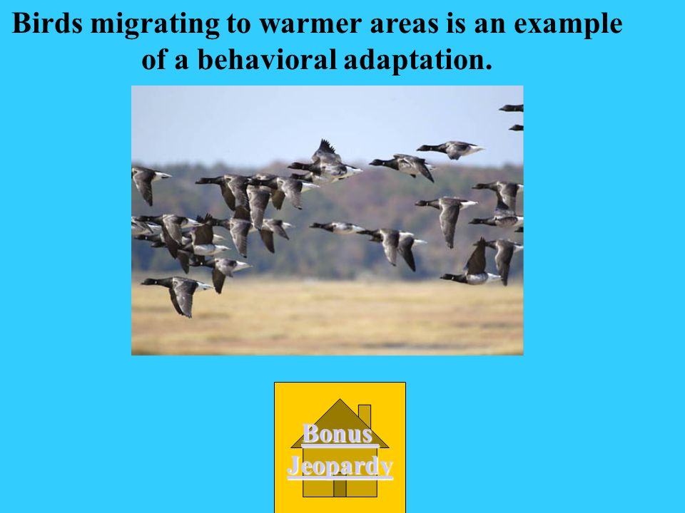Birds migrating to warmer areas is an example of a behavioral adaptation.