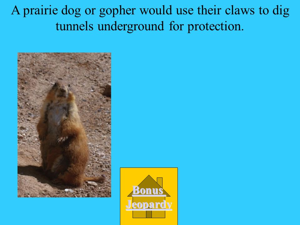 A prairie dog or gopher would use their claws to dig tunnels underground for protection.