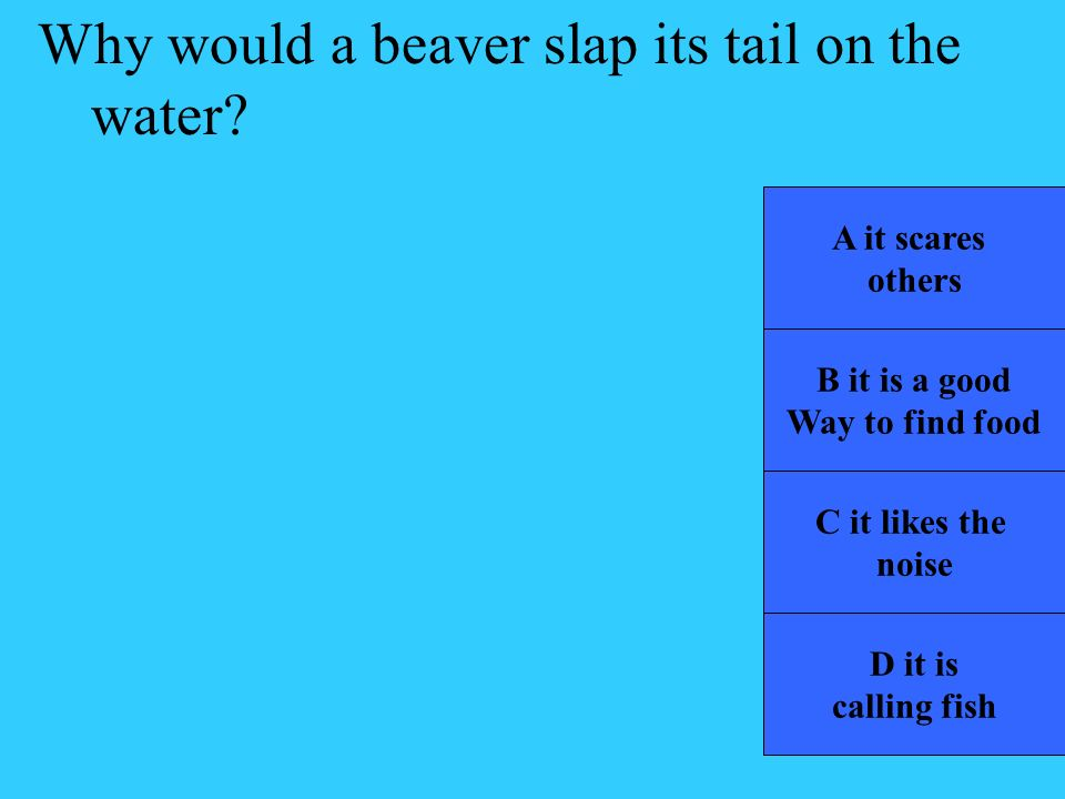 Why would a beaver slap its tail on the water
