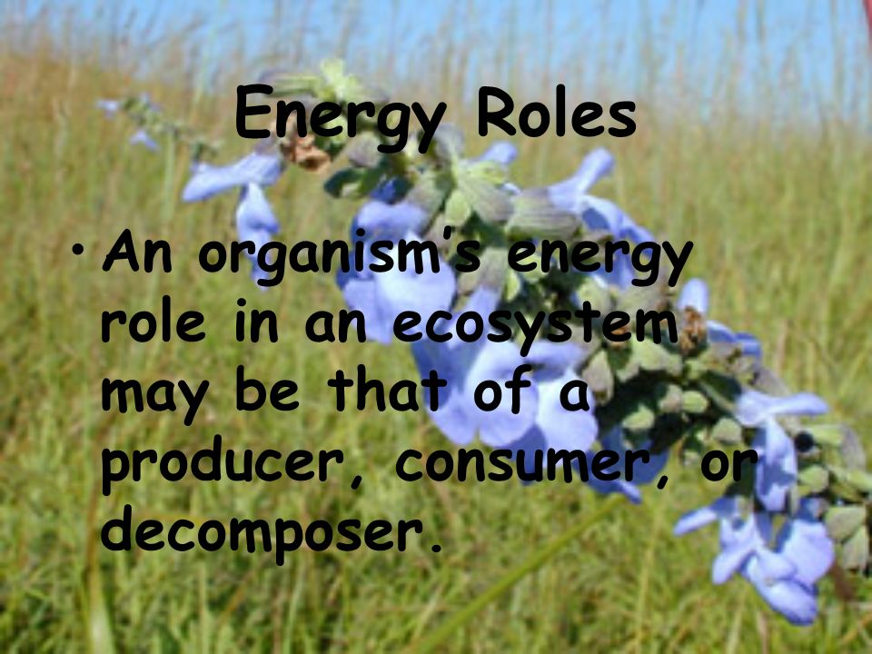 Energy Roles An organism's energy role in an ecosystem may be that of a producer, consumer, or decomposer.