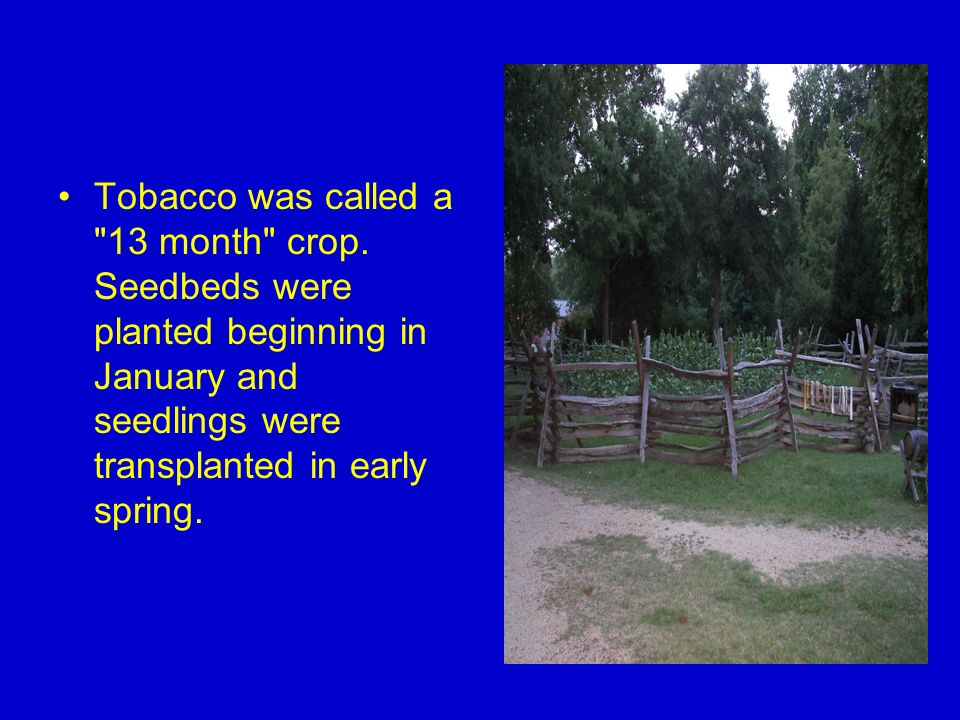 Tobacco was called a 13 month crop