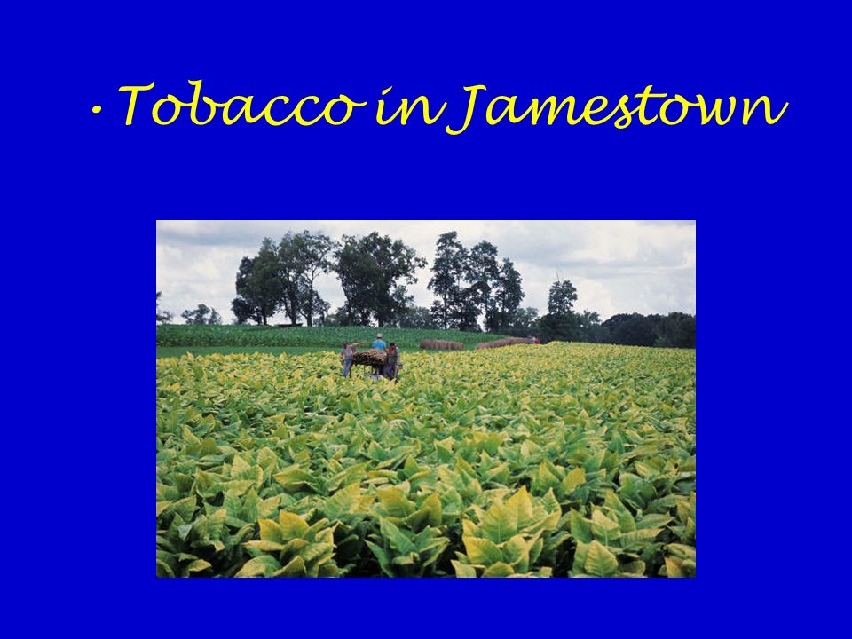 Tobacco in Jamestown