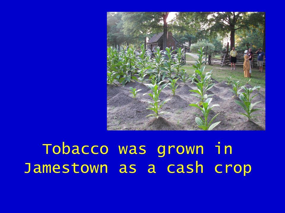 Tobacco was grown in Jamestown as a cash crop