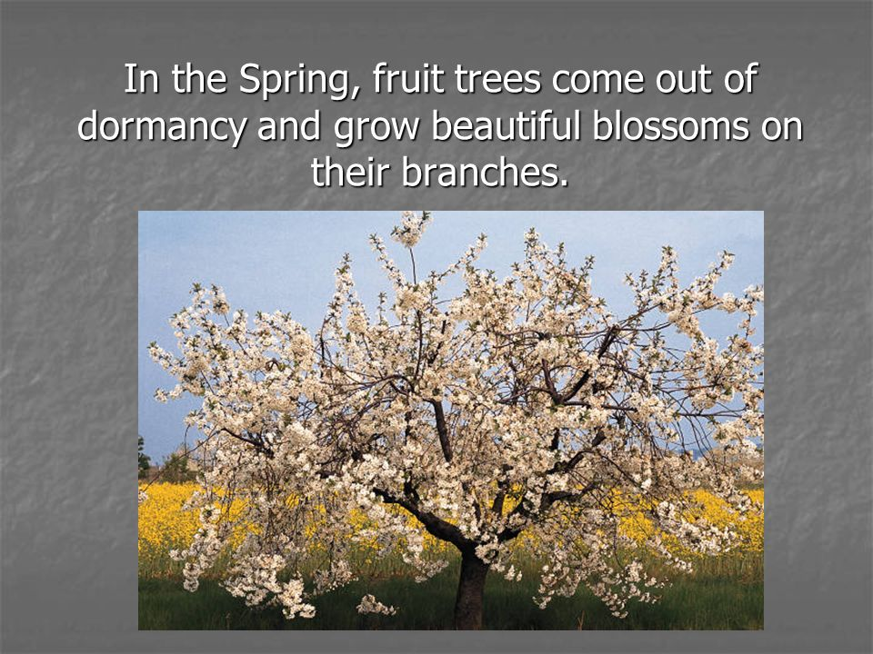 In the Spring, fruit trees come out of dormancy and grow beautiful blossoms on their branches.
