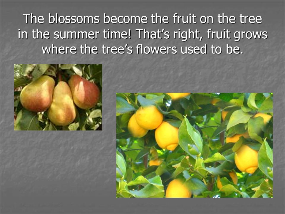 The blossoms become the fruit on the tree in the summer time