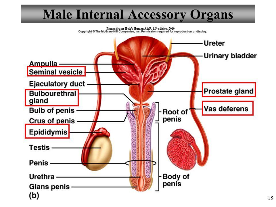 Luxury Picture Of Male Internal Organs Frieze - Anatomy Ideas ...