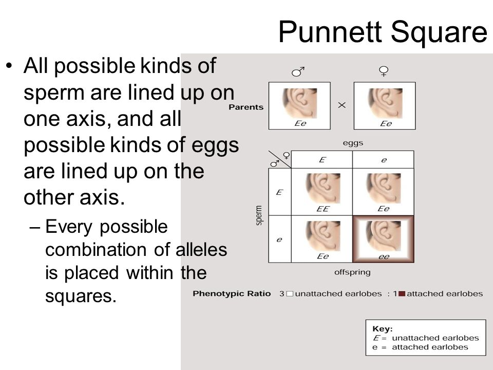 Punnett Square All possible kinds of sperm are lined up on one axis, and all possible kinds of eggs are lined up on the other axis.