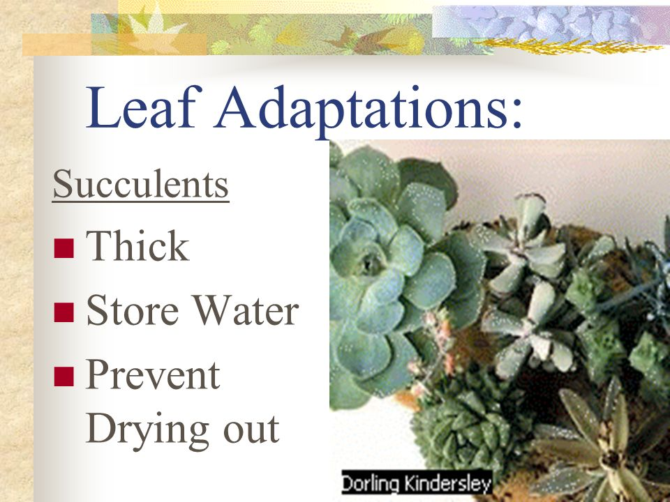 Leaf Adaptations: Succulents Thick Store Water Prevent Drying out