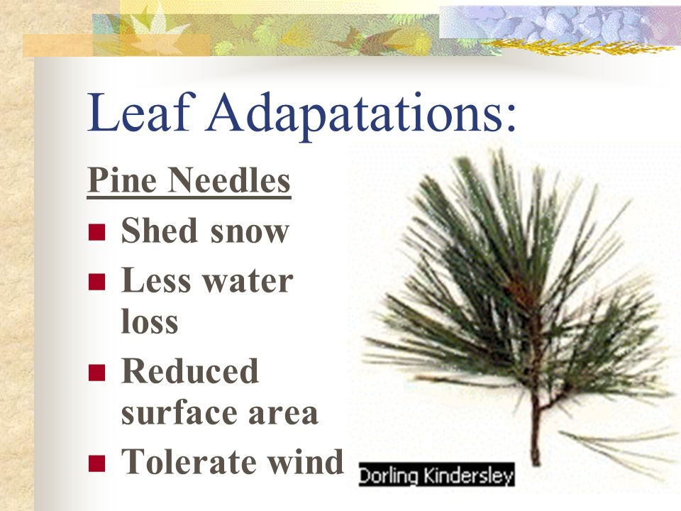 Leaf Adapatations: Pine Needles Shed snow Less water loss