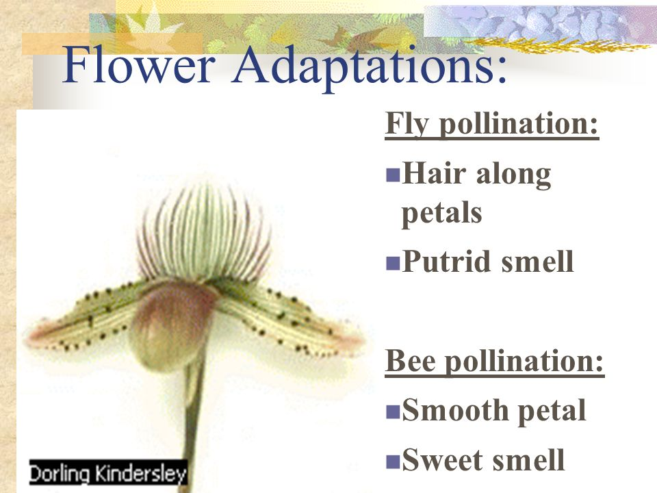 Flower Adaptations: Fly pollination: Hair along petals Putrid smell