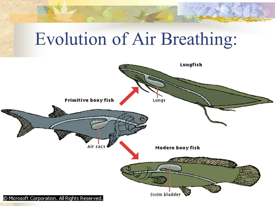 Evolution of Air Breathing: