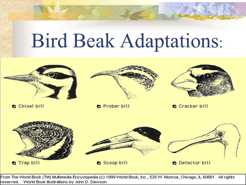 Bird Beak Adaptations: