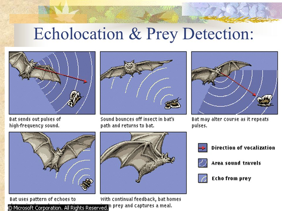 Echolocation & Prey Detection: