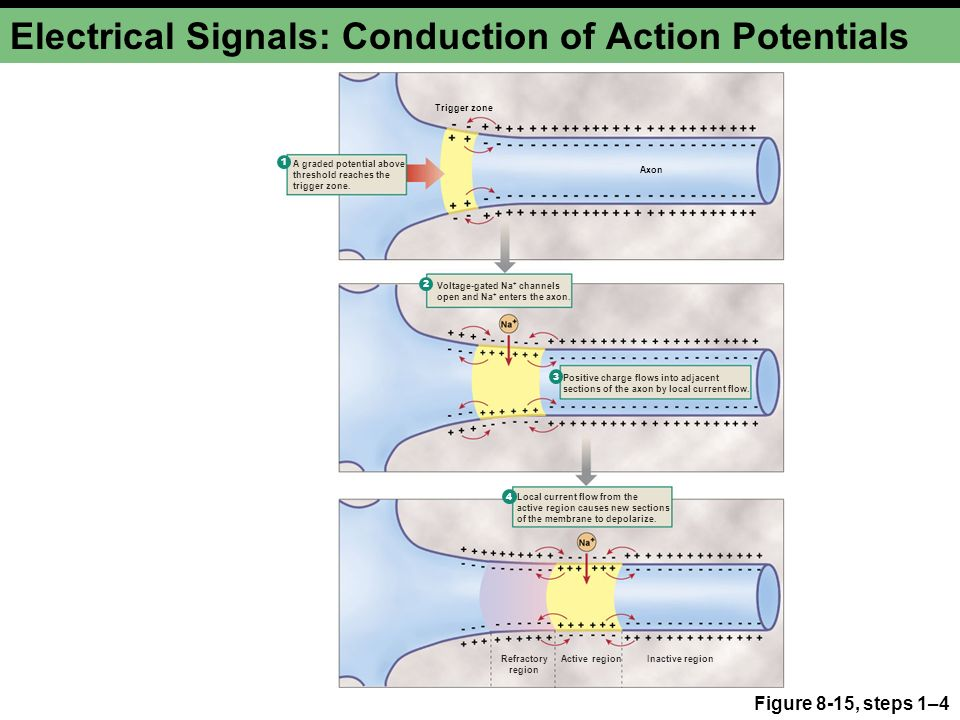 Electric Current Locator : Neurons cellular and network properties ppt video