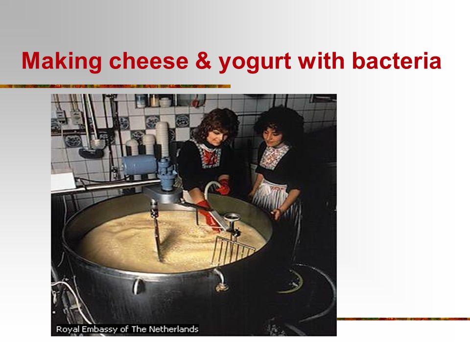 Making cheese & yogurt with bacteria