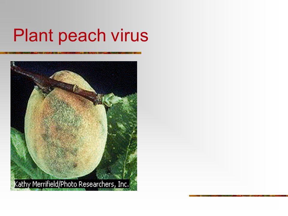 Plant peach virus