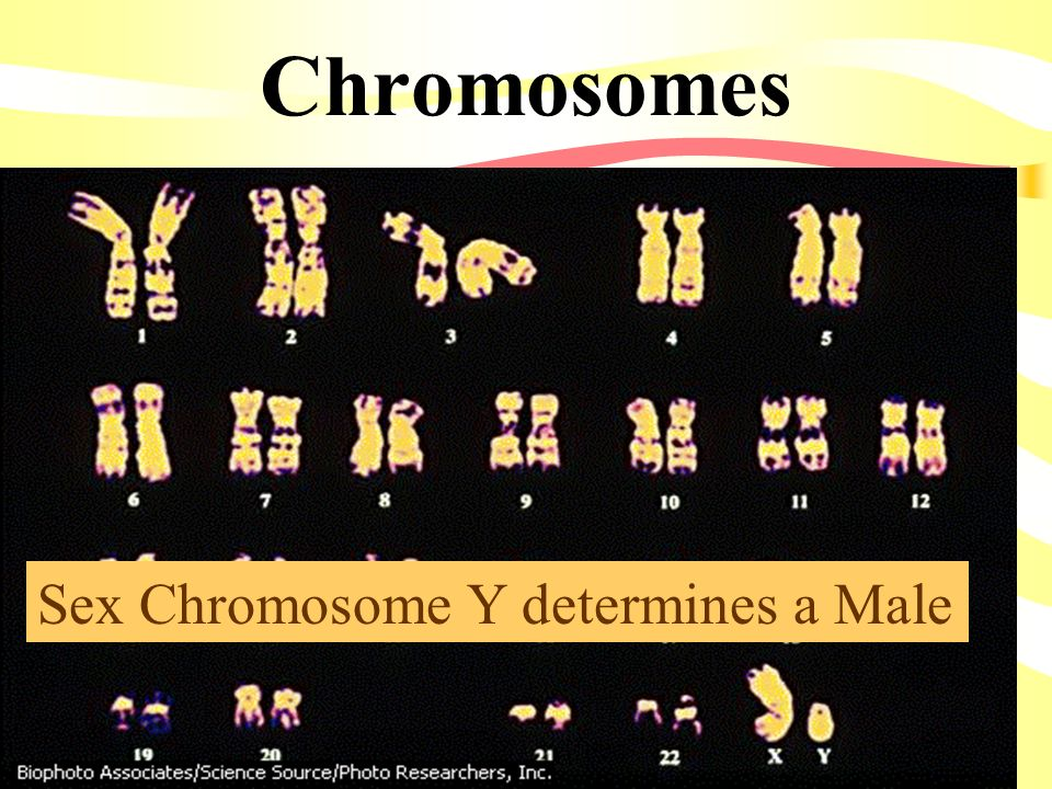 Chromosomes Sex Chromosome Y determines a Male
