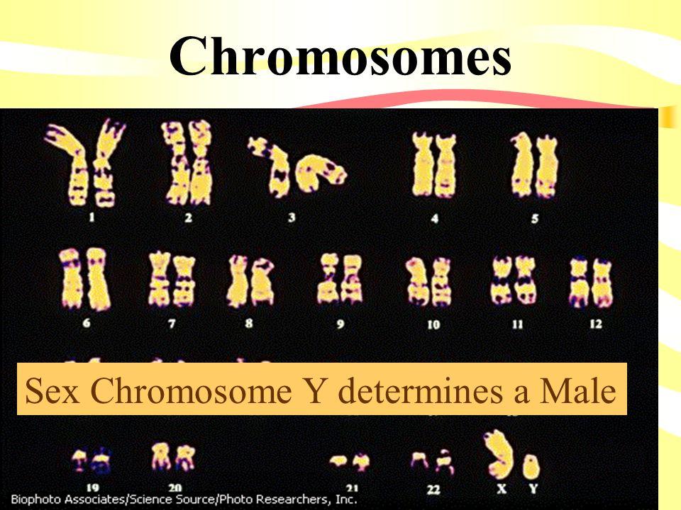 Chromosomes Sex Chromosome Y determines a Male