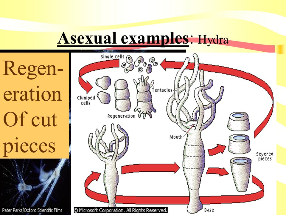 Asexual examples: Hydra