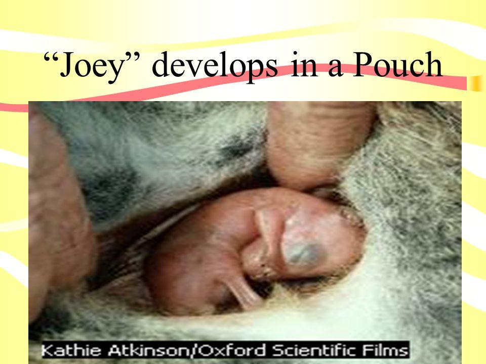 Joey develops in a Pouch