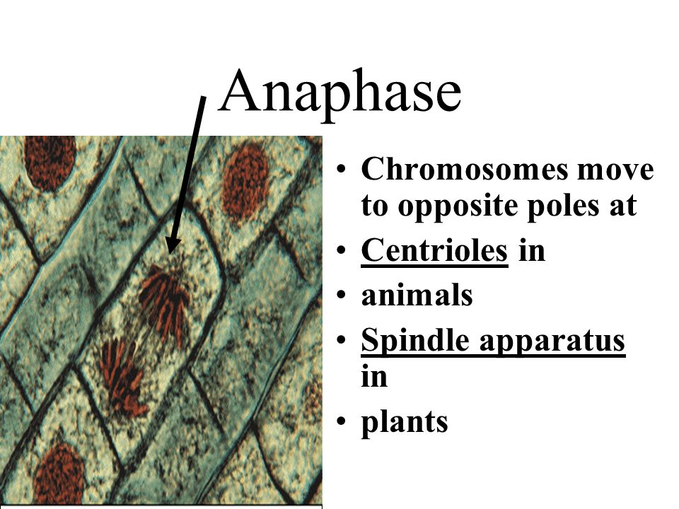 Anaphase Chromosomes move to opposite poles at Centrioles in animals