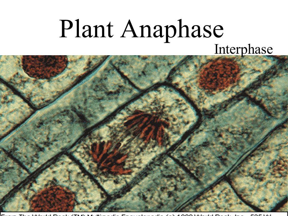 Plant Anaphase Interphase