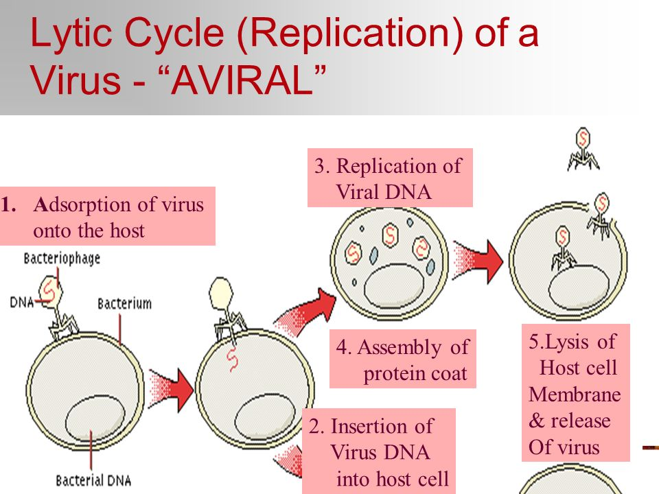 Lytic Cycle (Replication) of a Virus - AVIRAL