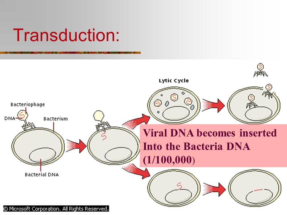 Transduction: Viral DNA becomes inserted