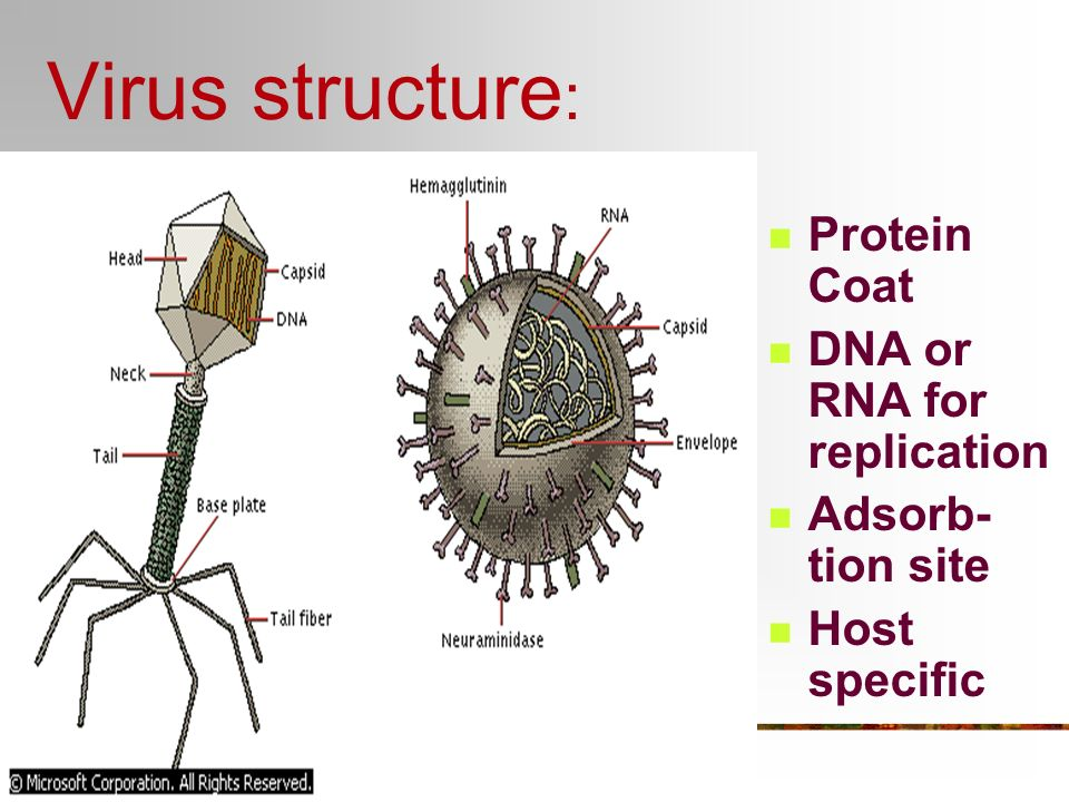 Virus structure: Protein Coat DNA or RNA for replication