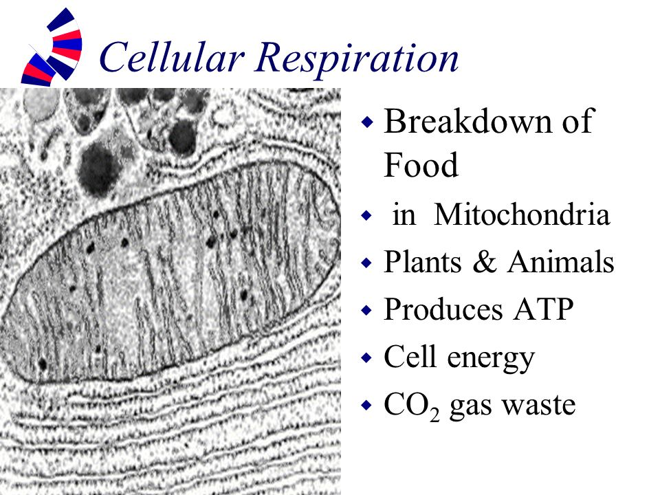 Cellular Respiration Breakdown of Food in Mitochondria