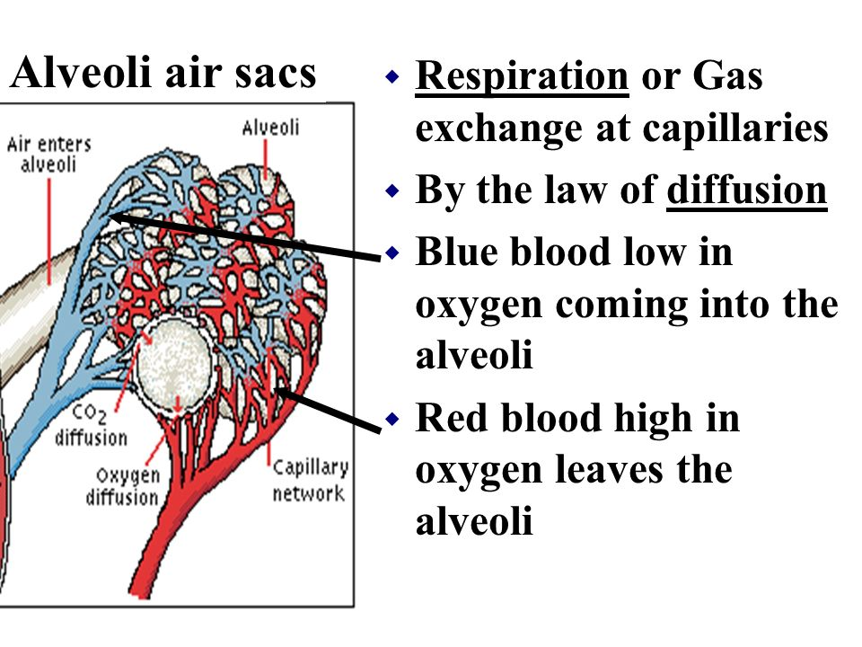Alveoli air sacs Respiration or Gas exchange at capillaries