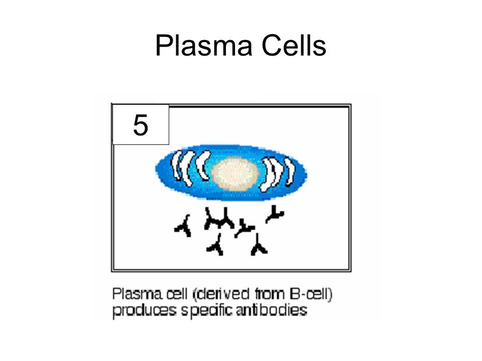 Plasma Cells 5