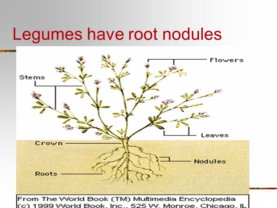 Legumes have root nodules