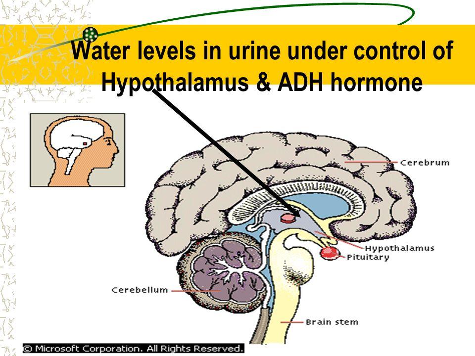 Water levels in urine under control of Hypothalamus & ADH hormone