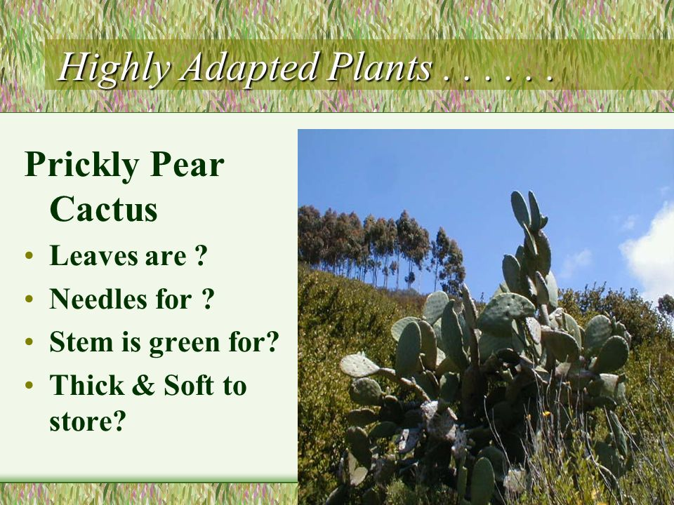 Highly Adapted Plants . . . . . . Prickly Pear Cactus Leaves are